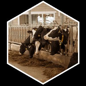 hexagon-koeien